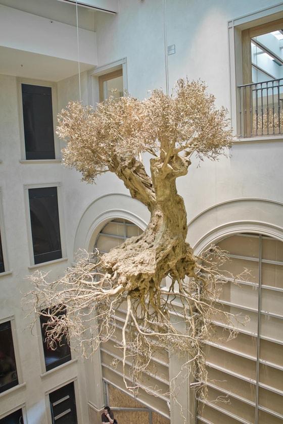 Wysuszone drzewo oliwne