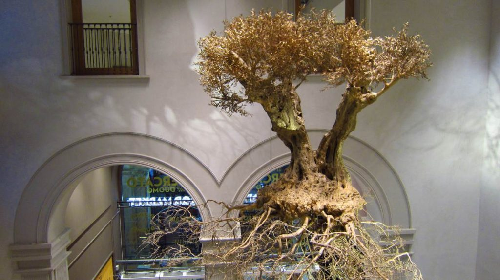 Wysuszone drzewo oliwne w knajpie w Mediolanie